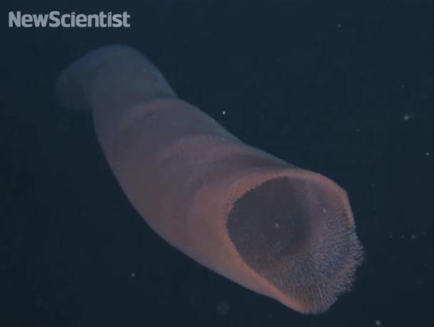 pirosomas los gigantes marinos más extraños que jamás hayas visto11