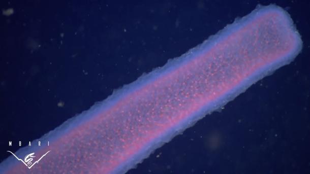 pirosomas los gigantes marinos más extraños que jamás hayas visto3