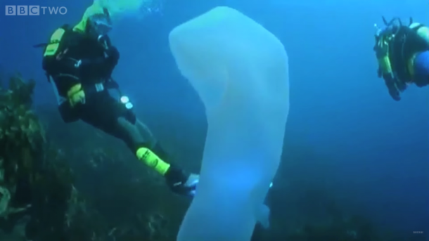 pirosomas los gigantes marinos más extraños que jamás hayas visto5