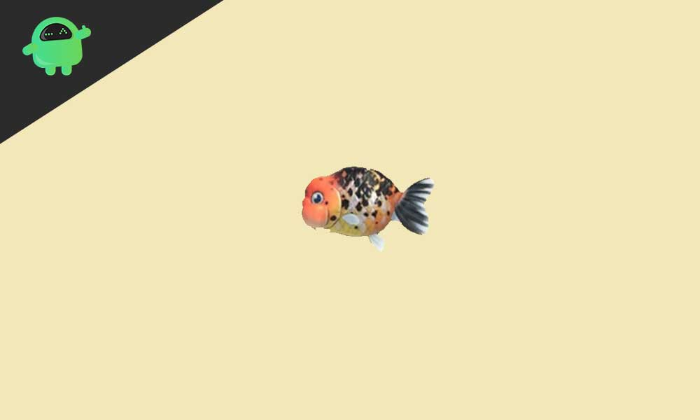 How to get a Ranchu Goldfish on Animal Crossing New Horizons